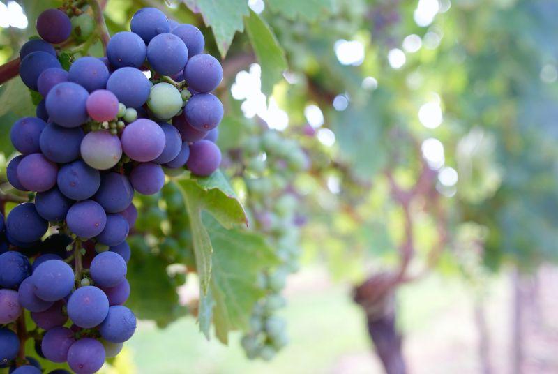 zdjęcie winogron