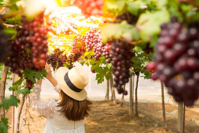 osoba zbierająca winogrona